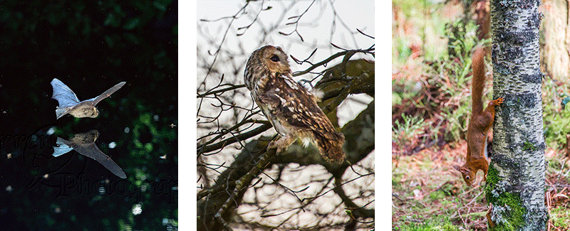 three pictures of a bat over water a tawny owl and a red squirrel />